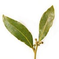 Листья из которых добывается эфирное масло бей