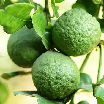 Плоды бергамотового дерева