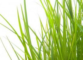 Трава пальмароза
