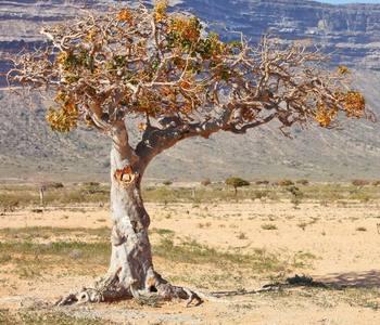Дерево Мирра
